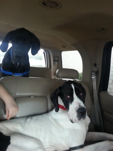 On our way to Auburn University Small Animal Hospital!